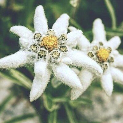 EdelweissEdelweiss